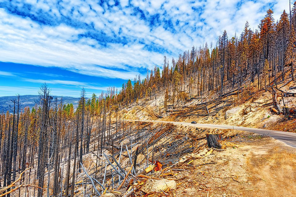 Burnt remains of trees after a fire. National American natural park-Yosemite. California. USA.